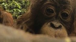Questo orango ha rubato la GoPro di un fotografo e si è scattato centinaia di
