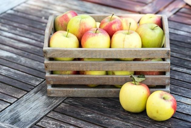 'Delbar' Apple harvest in a