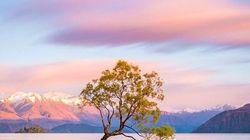Questo albero in Nuova Zelanda è patrimonio dell'Umanità e rischia di sparire per colpa dei