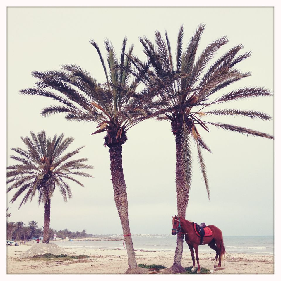 Djerba Tunisia, April 2012 - horse rest before a riding demonstration during a wedding celebration in
