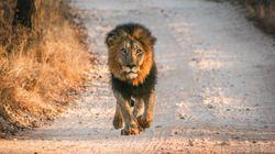 Due leoni, due tigri e un giaguaro in fuga da uno zoo in Germania. La polizia:
