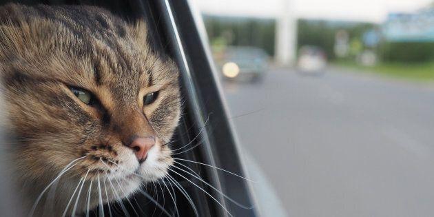 In provincia di Arezzo un gatto chiude i padroni fuori dall'auto e intervengono i