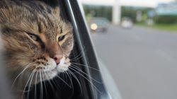 Gatto chiude i padroni fuori dall'auto in autostrada e devono intervenire i