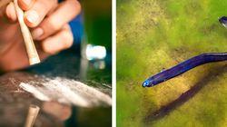 Troppa cocaina nei fiumi: anguille europee in
