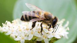 Dopo le pecore tosaerba a Roma arrivano le api