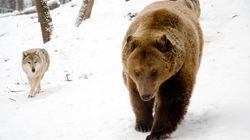 Il ministro Costa e la decisione pro-animalista: Lega e M5S litigano perfino su lupi e