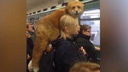 In metro con la volpe in spalla. Ma gli altri passeggeri non battono