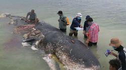 Un capodoglio è stato trovato morto in Indonesia con 6 kg plastica nello