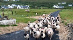 Un pastore di Arezzo è stato multato perché le sue pecore erano in divieto di