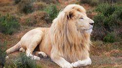 Raro esemplare di leone bianco potrebbe finire all'asta per una finta