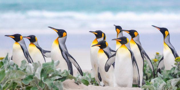 Un'isola delle Falkland con 6mila pecore e 5 specie di pinguini è stata messa in