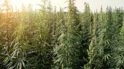 A Velletri l'incredibile scoperta di una piantagione di marijuana grazie a... Google