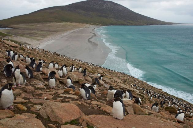 Colony of Rockhopper Penguins (Eudyptes chrysocome) on the cliffs above The Neck on Saunders Island in...