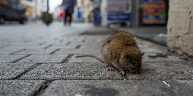 Sick rat on a Boardwalk in