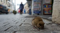 Sterilizzare i topi per non ucciderli: la proposta del Comune di