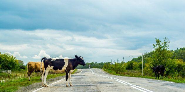 A Roma arrivano le mucche anti-roghi (dopo le pecore