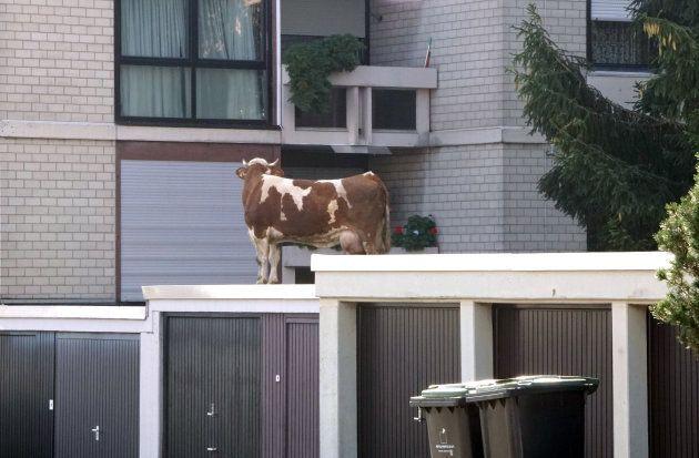 La storia della mucca sul tetto di un garage: scappa dalla stalla e, inseguita dalla polizia, si rifugia