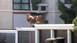 Cosa ci fa una mucca sul tetto di un