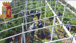 Un drone scopre una serra con 6 tonnellate di cannabis, nascosta tra i pomodori ragusani