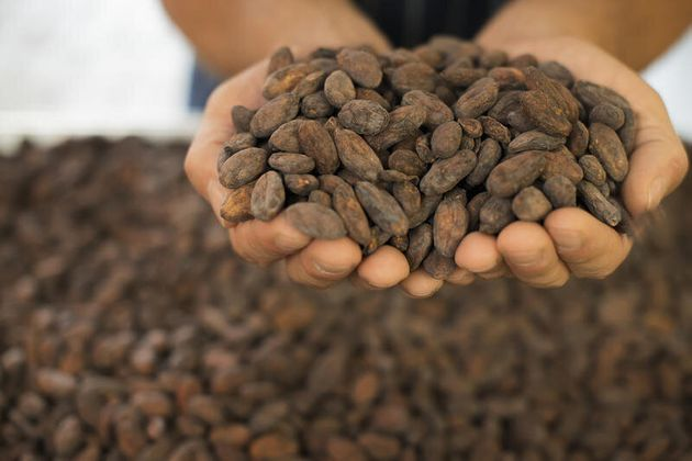 Organic Chocolate Manufacturing. A person holding a handful of cocoa beans, the seed of Theobroma cacao,...