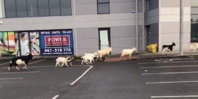 La città irlandese di Ennis è terrorizzata da una mandria di capre: