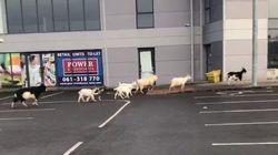 Una mandria di capre sta terrorizzando il centro di una città irlandese:
