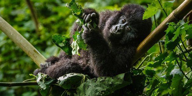 Gorilla di montagna nel Parco Nazionale di Virunga (Repubblica Democratica del