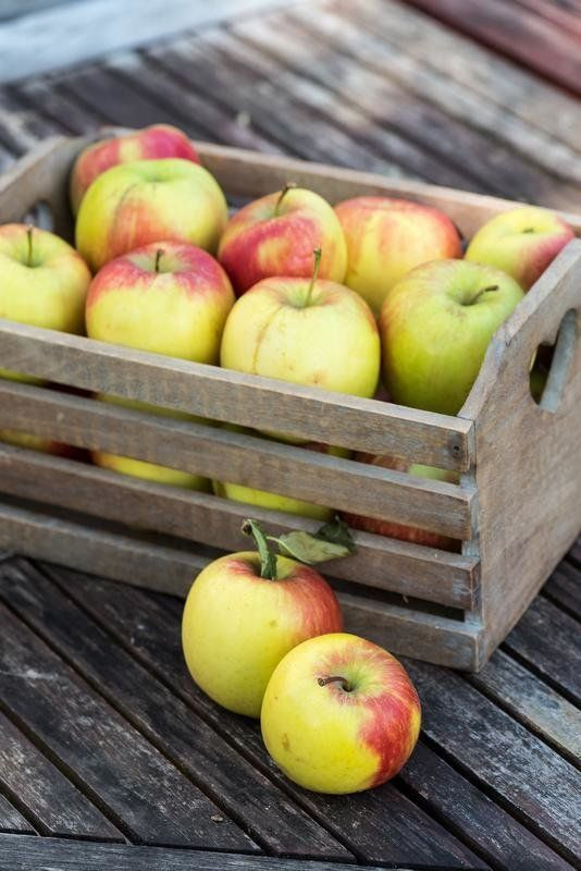 'Delbar' Apple harvest in a