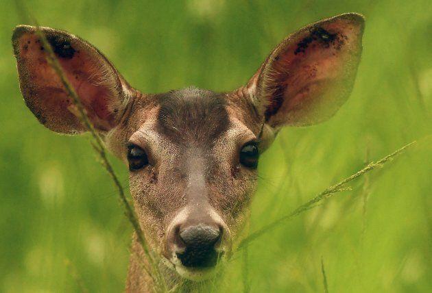 Le corna del cervo diventano il rifugio di un uccellino. La foto scattata a San Salvador dal fotografo...