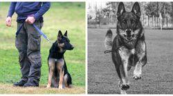 Addio a Falco, il cane-eroe che salvò 3 bambini all'hotel