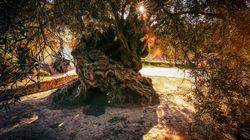 Gli alberi che camminano, ulivi millenari che conservano storie e attraversano il