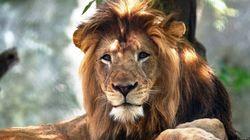 Nello zoo di Indianapolis una leonessa ha ucciso il padre dei suoi tre