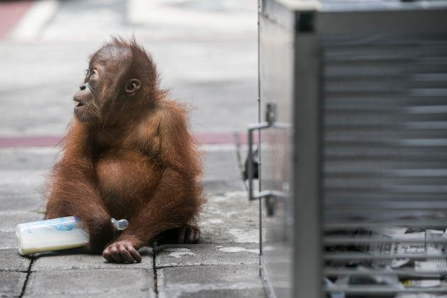 Rescued two-years old male Borneo orangutan, which attempted to smuggle out of Indonesia, sits outside...