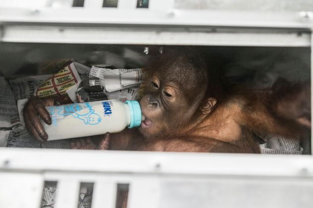Rescued two-years old male Borneo orangutan, which attempted to smuggle out of Indonesia, drink milk...