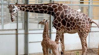 A reticulated giraffe calf, born on April 16, 2019, is seen with her mother, Dottie, at the Henry Doorly Zoo in Omaha, Neb., Tuesday, April 23, 2019. The public is invited to help name the calf by submitting name suggestions through a Facebook contest that will begin on April 26. (AP Photo/Nati Harnik)