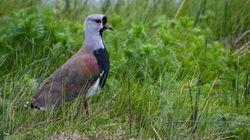 'Madre coraje': así defiende esta ave su nido de un