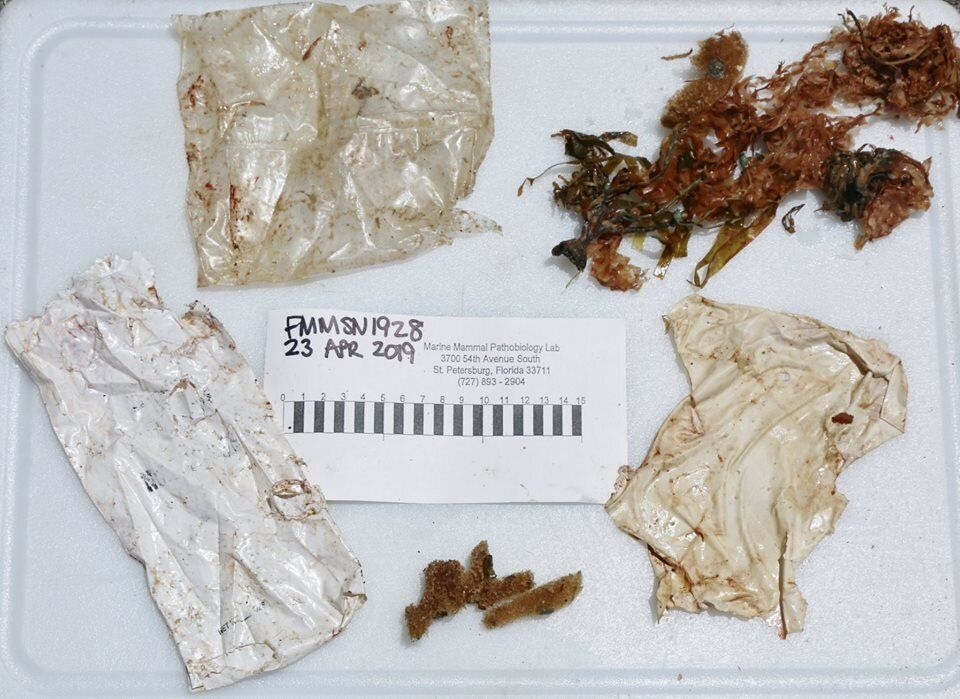 Stomach contents from a dolphin found stranded at Fort Myers Beach in Florida. She ultimately had to be euthanized.