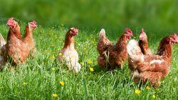 La lotta all'antibiotico-resistenza inizia dagli animali. La campagna di Coop per