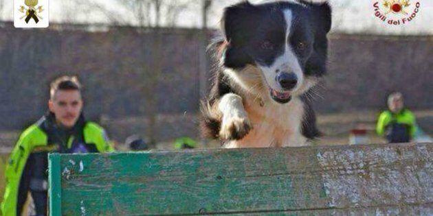 È morta Camilla, il cane cerca-persone eroe di Amatrice e delle alluvioni di