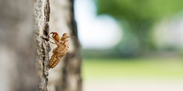 Cicada molt on nature
