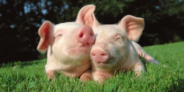 I maiali potrebbero essere i donatori di organi del futuro (secondo la rivista scientifica