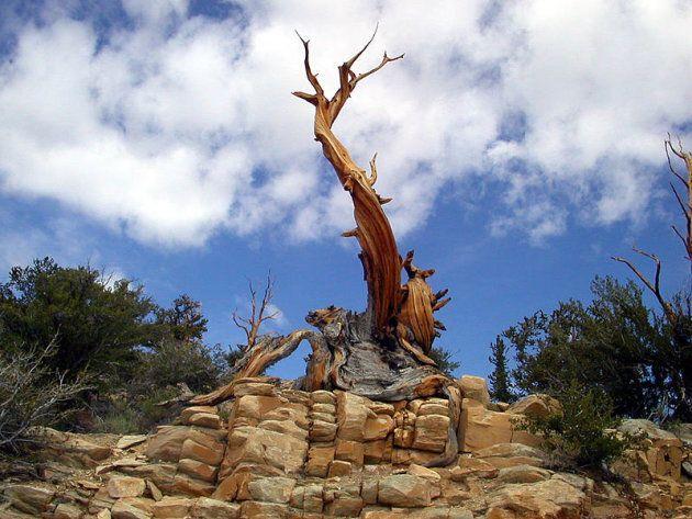 Ecco l'albero più vecchio del mondo, nato prima delle piramidi