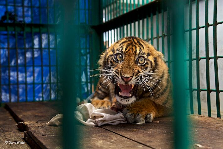 Tiger cub surgery Bonda Aceh The tiger chewed through his original bandage and so they had to clean out...