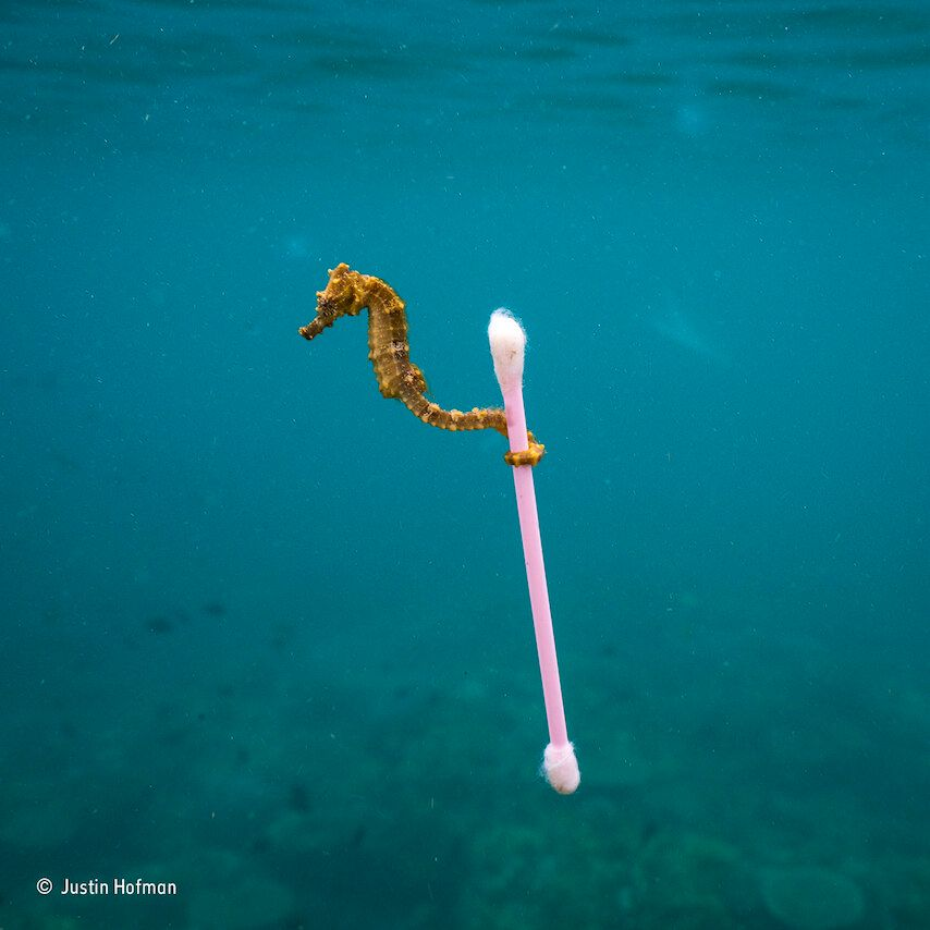 A small sea horse grabs onto garbage in Indonesia. This tiny sea horse drifted through our snokeling...