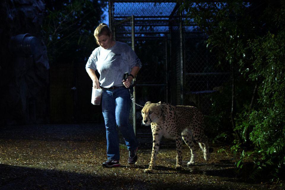 Senior keeper Jennifer Nelson walks a cheetah to a shelter ahead of the downfall of Hurricane Irma at...
