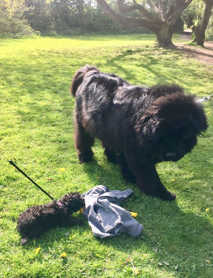"""Graeme Bandeira's puppy (left) and """"the bear"""" they recently befriended."""