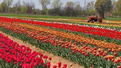 I 570mila tulipani che insegnano a rispettare la natura. Esperienza social e green a
