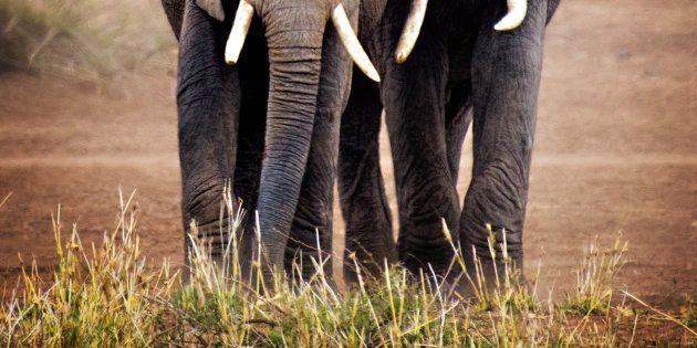 Dà la caccia ai rinoceronti in Sud Africa: bracconiere travolto da un elefante e sbranato dai