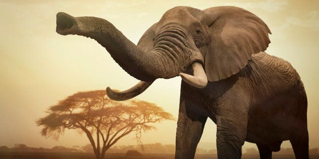 A giant female African elephant (Loxodonta africana) at sunset showing trunk as an aggressive
