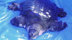 Gli scienziati hanno forse condannato all'estinzione la rarissima tartaruga dello